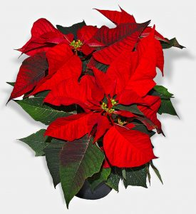 the christmas eve flower poinsettias in hispanic culture english